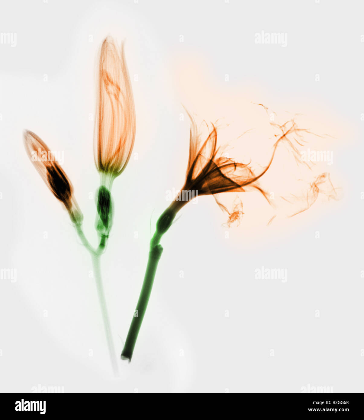 colorized x ray of day lilies - Stock Image