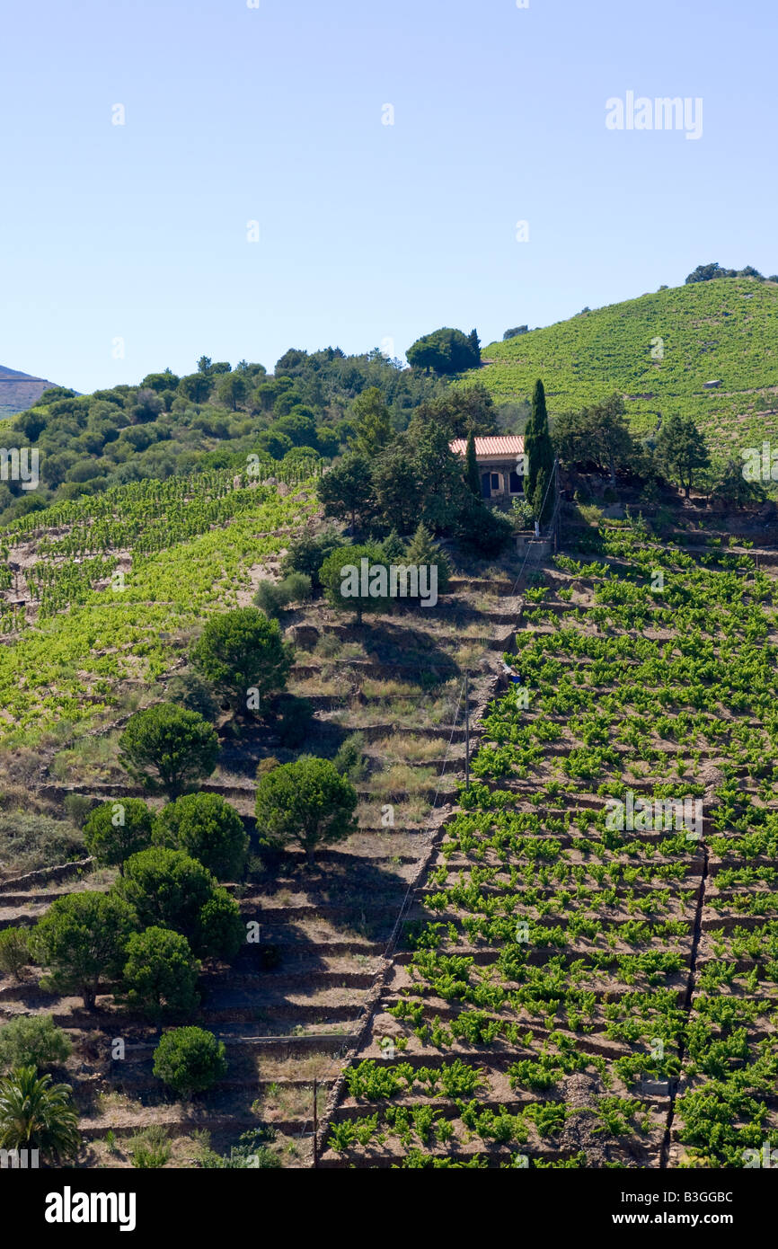 Viticultural terraces at the Cote Vermeille in Southern France - Stock Image
