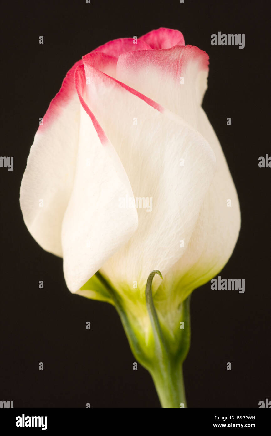 Pink and white Lisianthus flower against black background - Stock Image