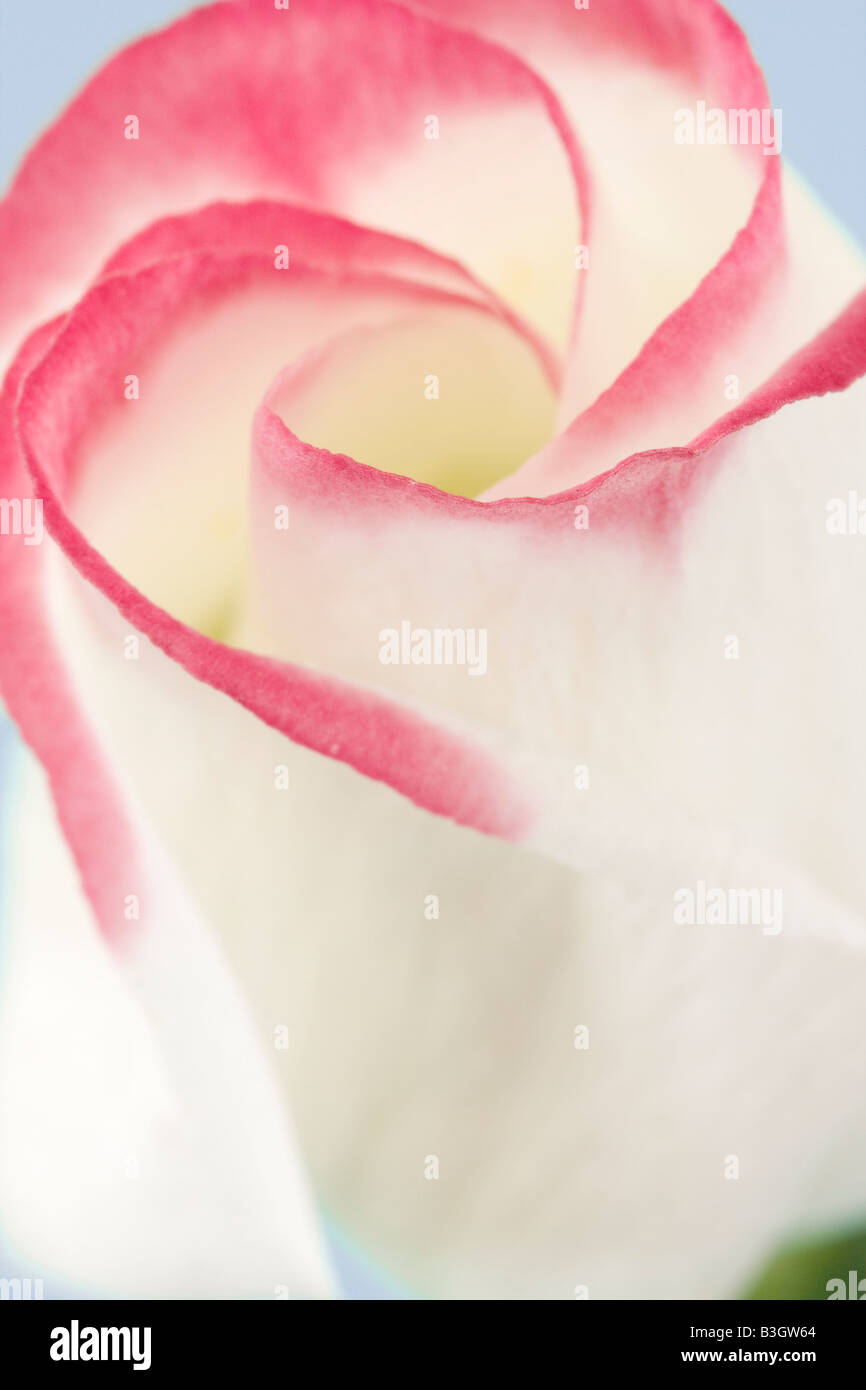 Pink and white Lisianthus flower - Stock Image
