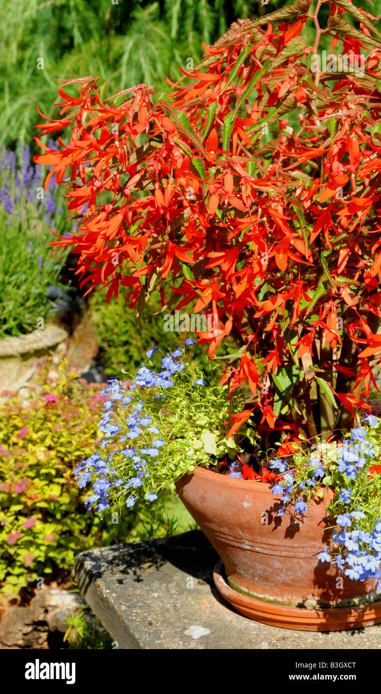 Flame red begonia in a pot in a country garden in England during the summer - Stock Image