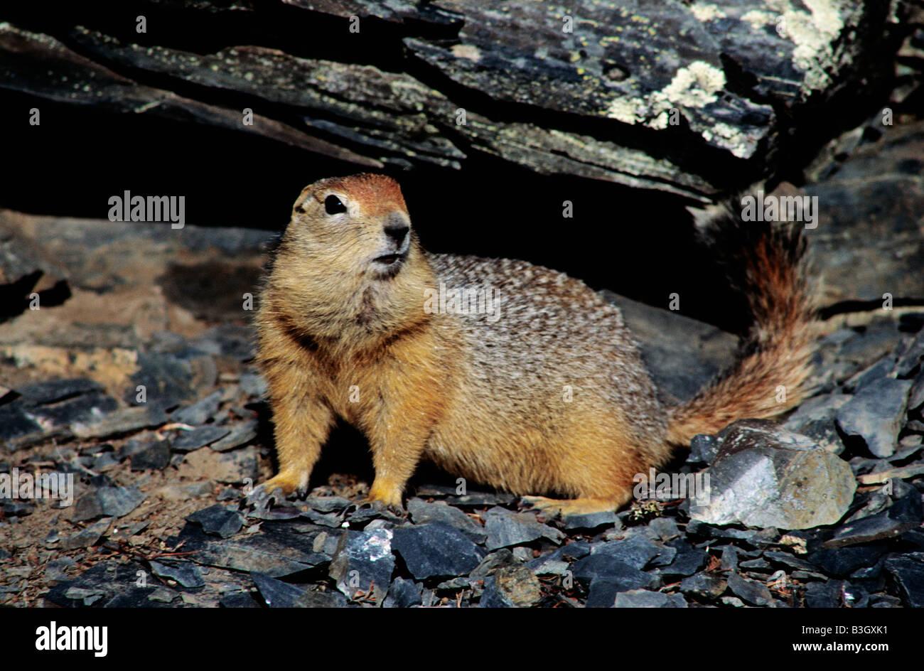 European Ground Squirrel European Suslik European Souslik Citellus citellus Spermophilus citellus adult Erdhoernchen Stock Photo