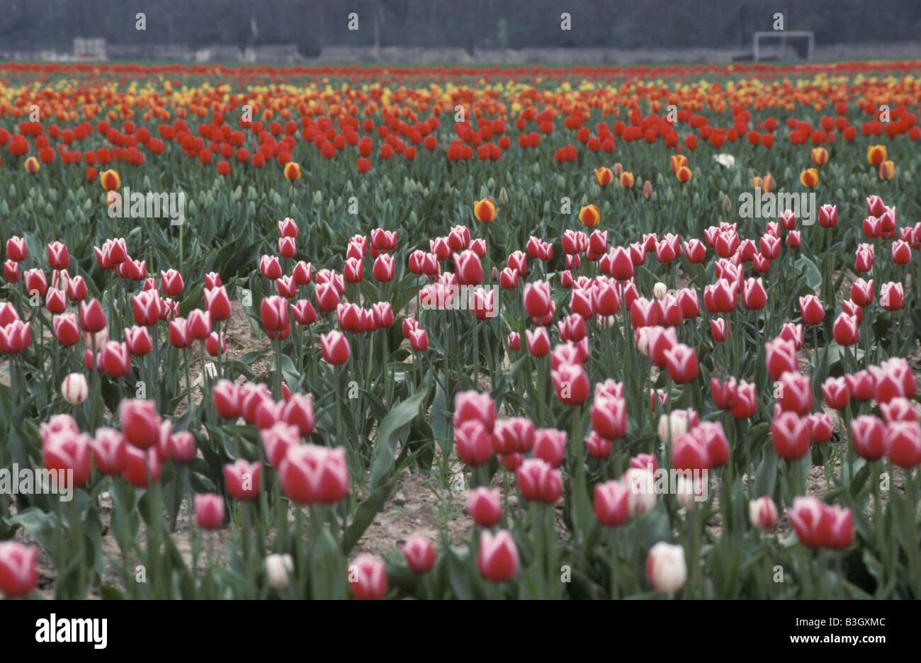 Champ de tulipes rouges en france Tulipa Above Aestival Agricultural Agriculture Asphodelaceae Beautiful Botanical - Stock Image