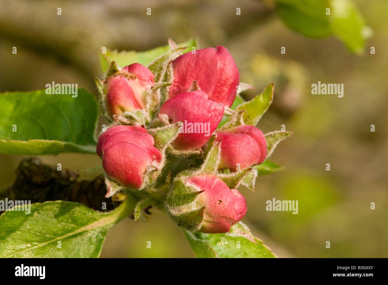 Apple blossom, bramley seedling. Stock Photo