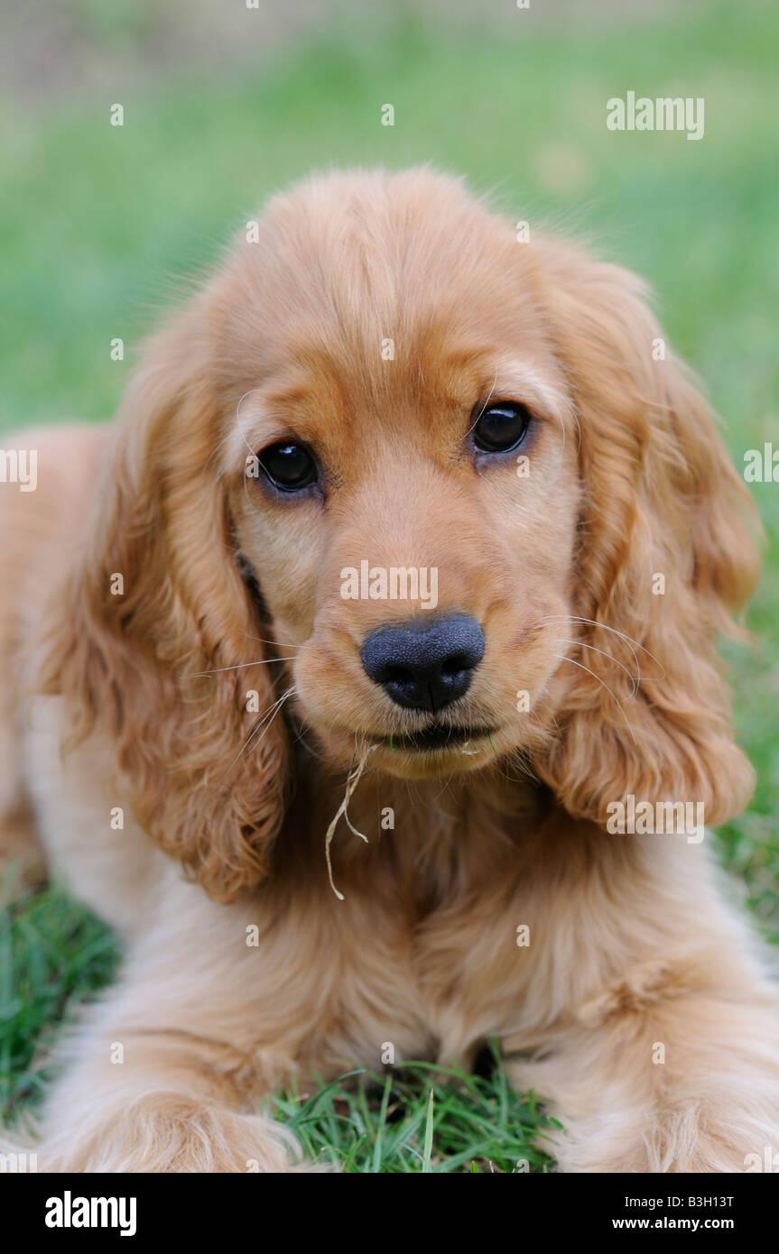 Cocker Spaniel Puppy - Stock Image