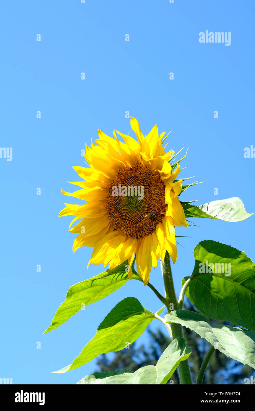 A sunflower with a bright blue sky - Stock Image