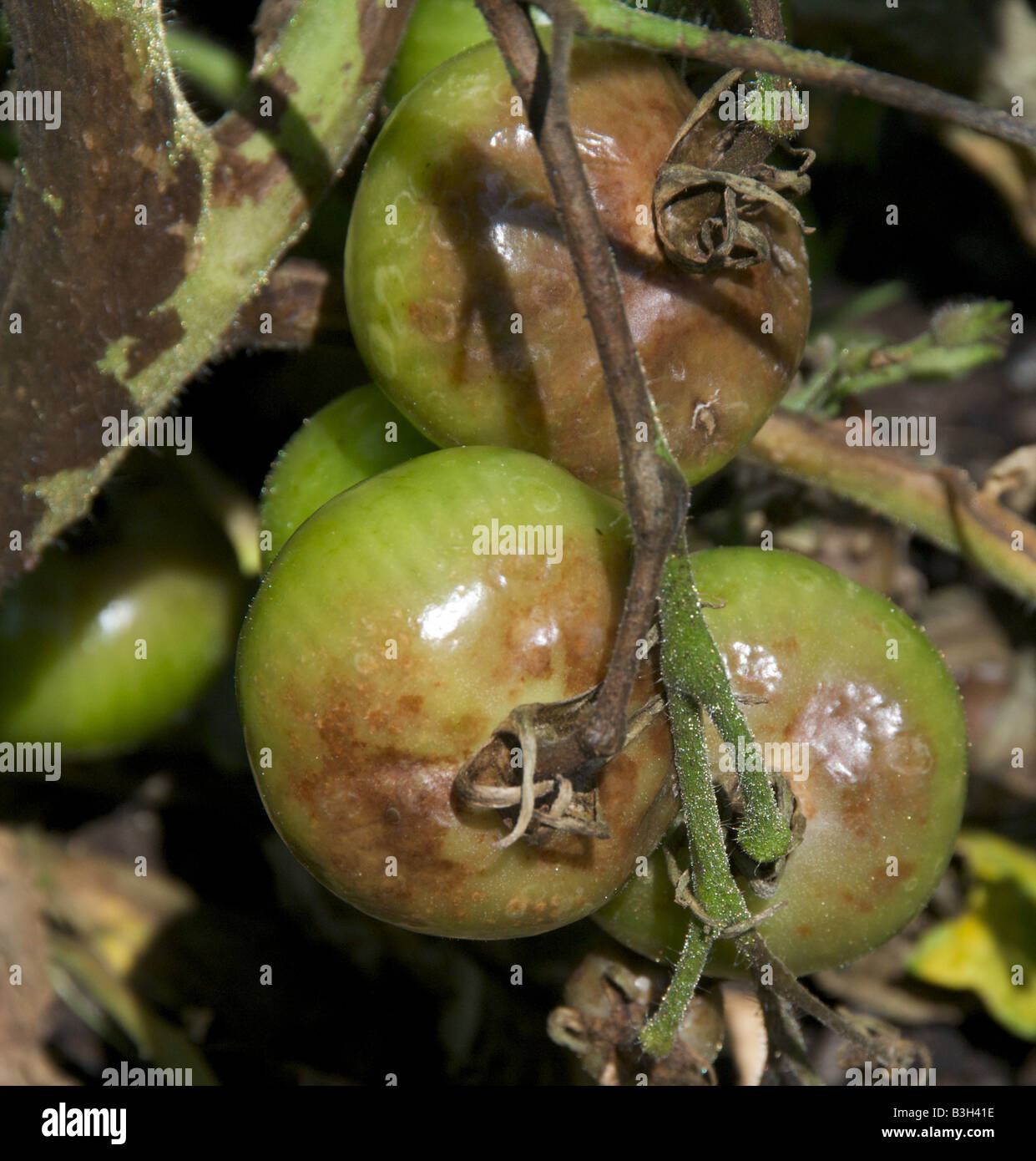 Disease of tomatoes. How to deal with phytophthora on tomatoes