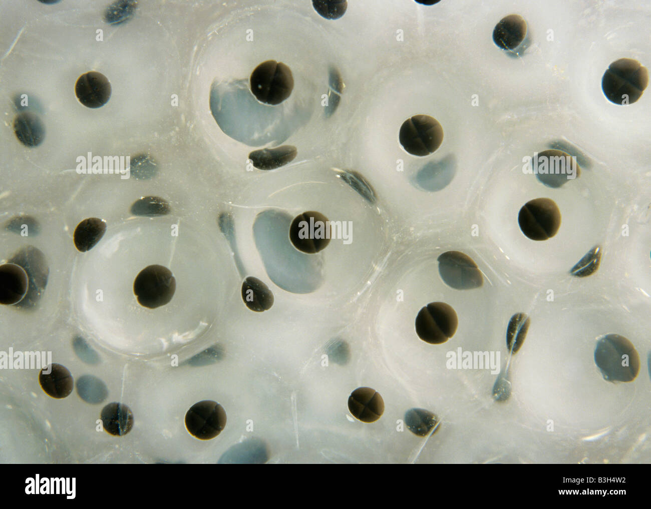 Frog spawn Rana temporaria showing 2 and 4 celled embryos surrounded by protective jelly - Stock Image