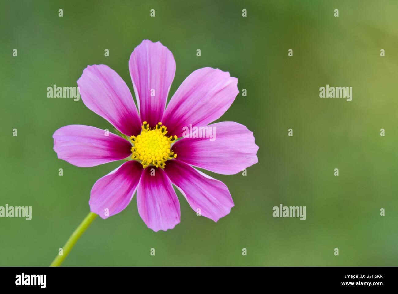 Cosmos flower Cosmos bipinnatus - Stock Image