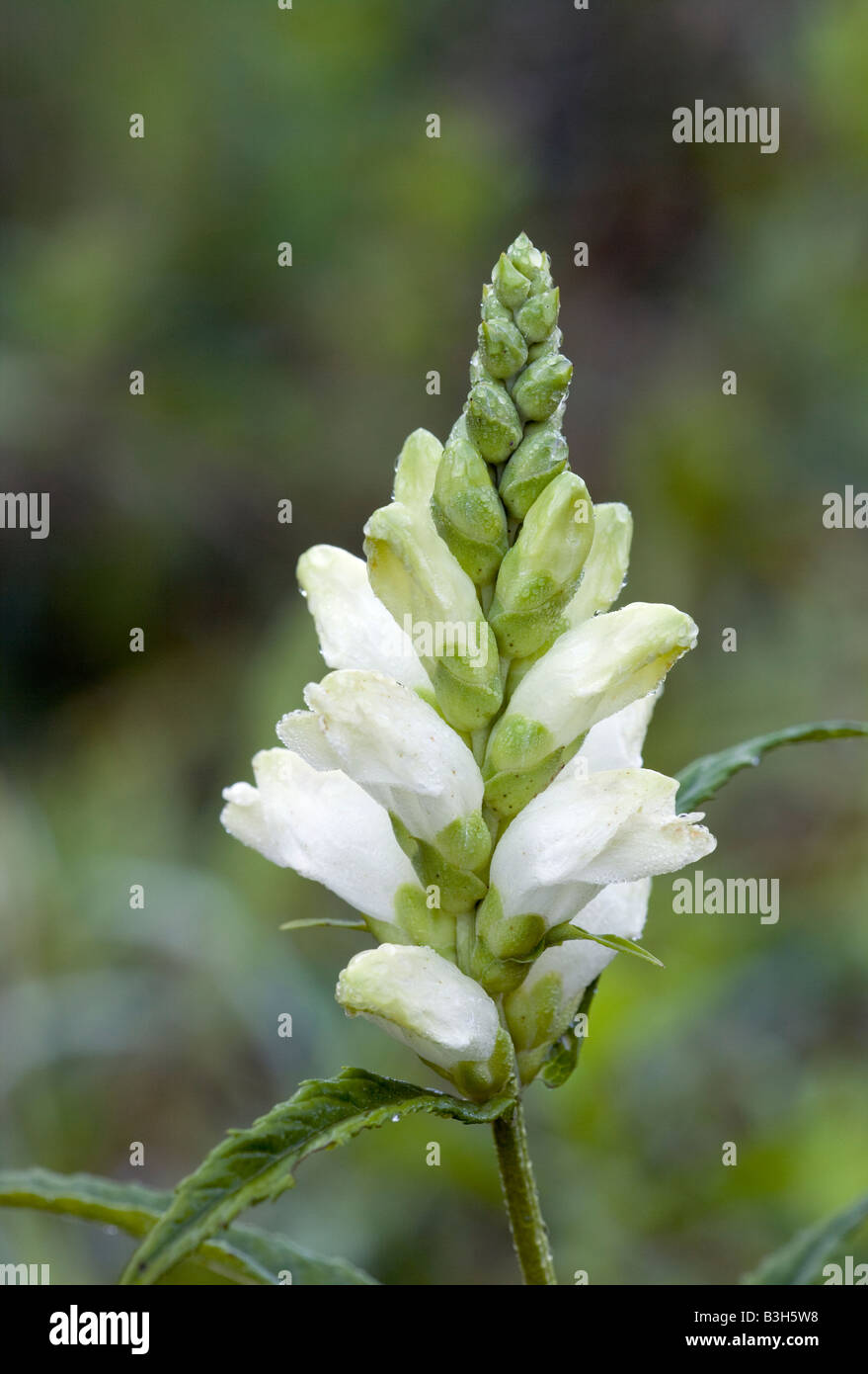 Chelone glabra; white turtlehead, balmony, bitter herb, codhead, fish mouth, shellflower, snakehead, snake mouth, - Stock Image