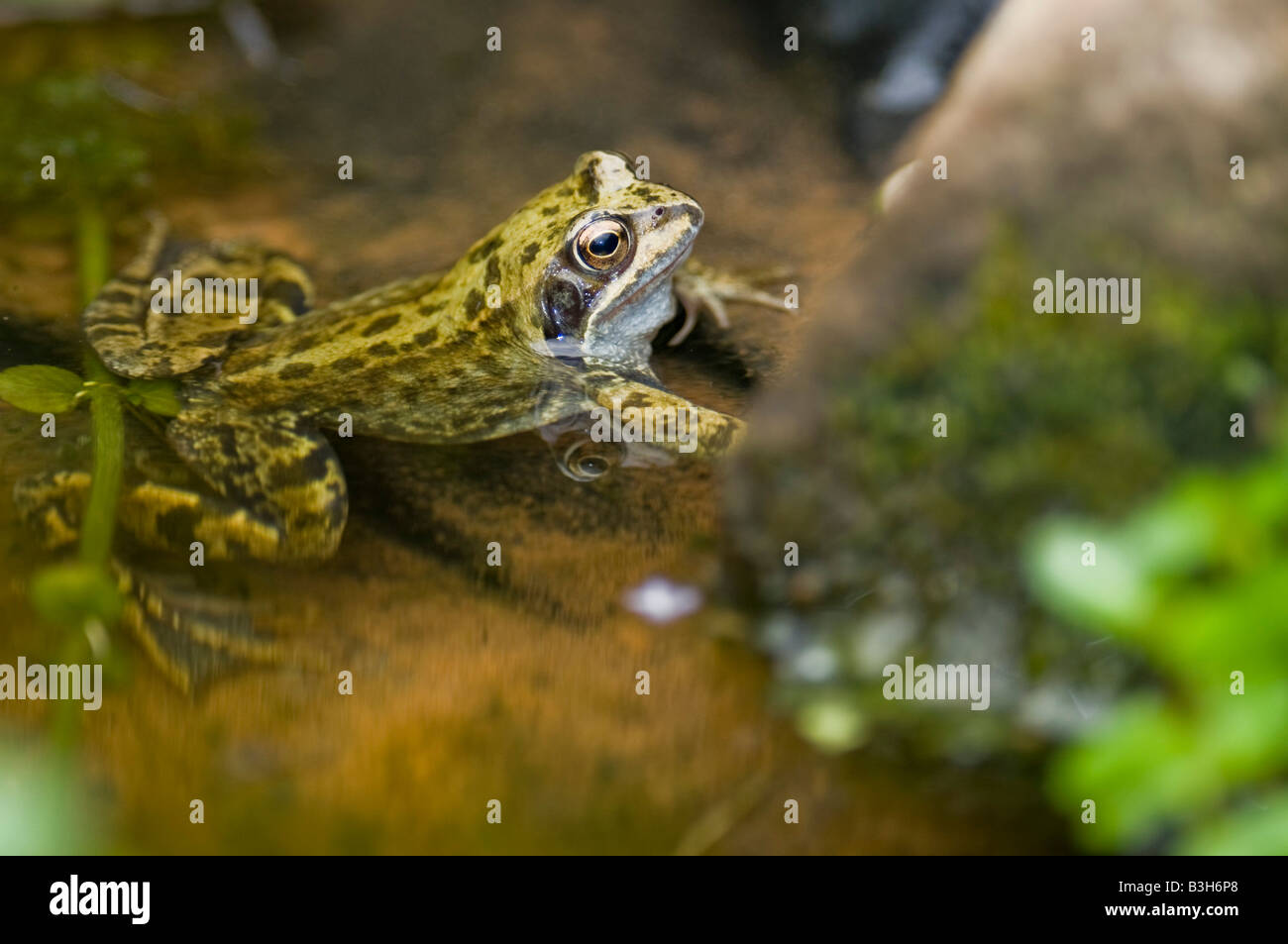 A male Common Frog Rana temporaria in a fresh water wildlife pond. - Stock Image