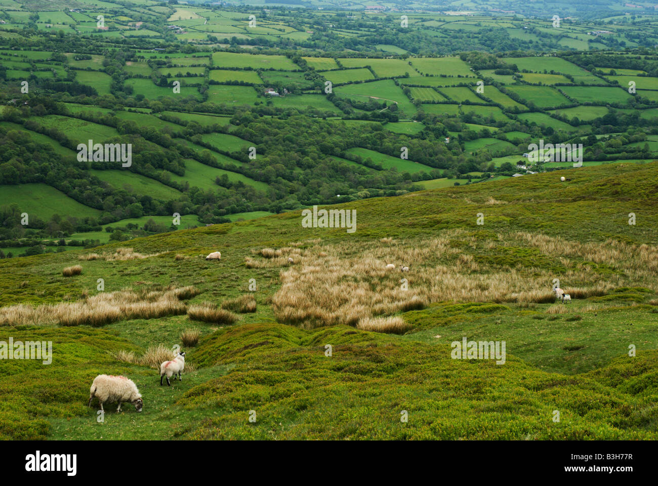 Sheep graze on the high moor above the tiny fields in the Welsh Border Country along Offa's Dyke near Hay on - Stock Image