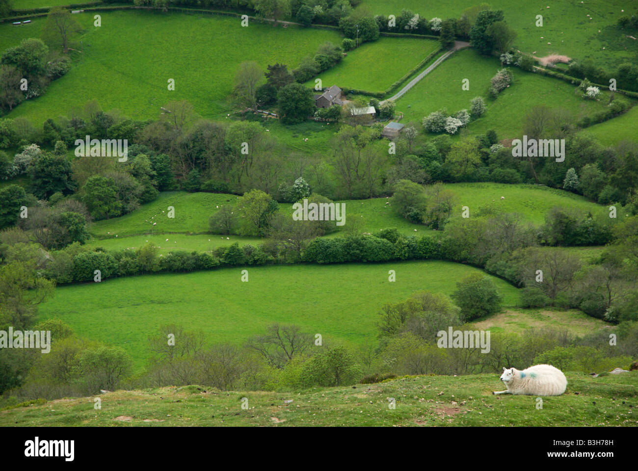 A Welsh sheep rests on the high moor above the farm fields in the Welsh Border Country along Offa's Dyke near - Stock Image