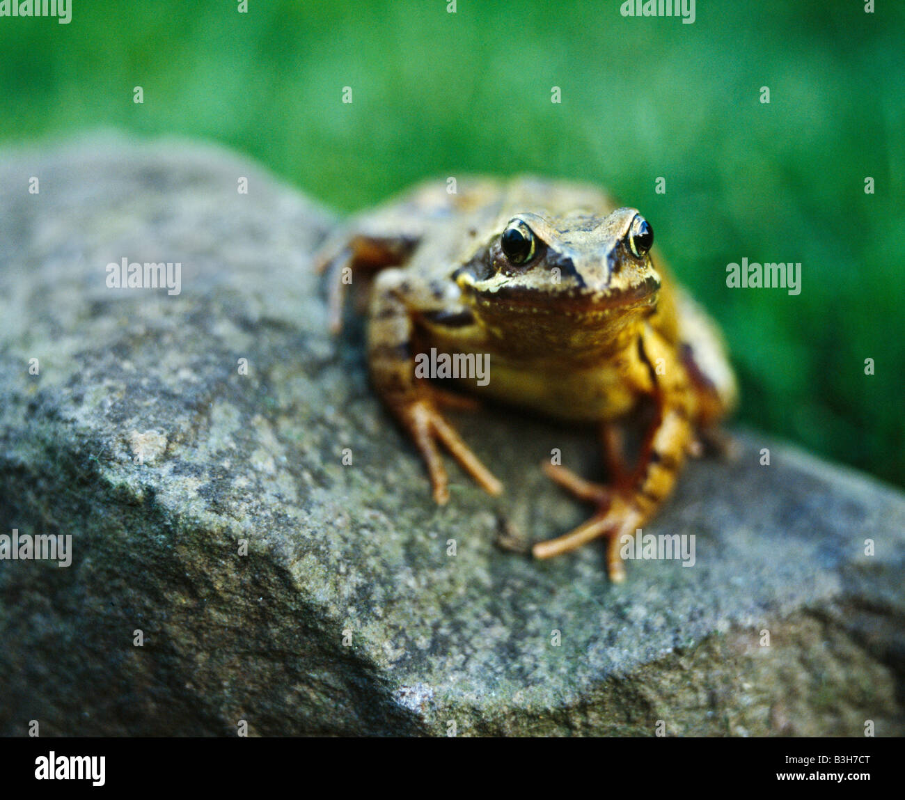 Common Frog, Rana Temporaria. - Stock Image