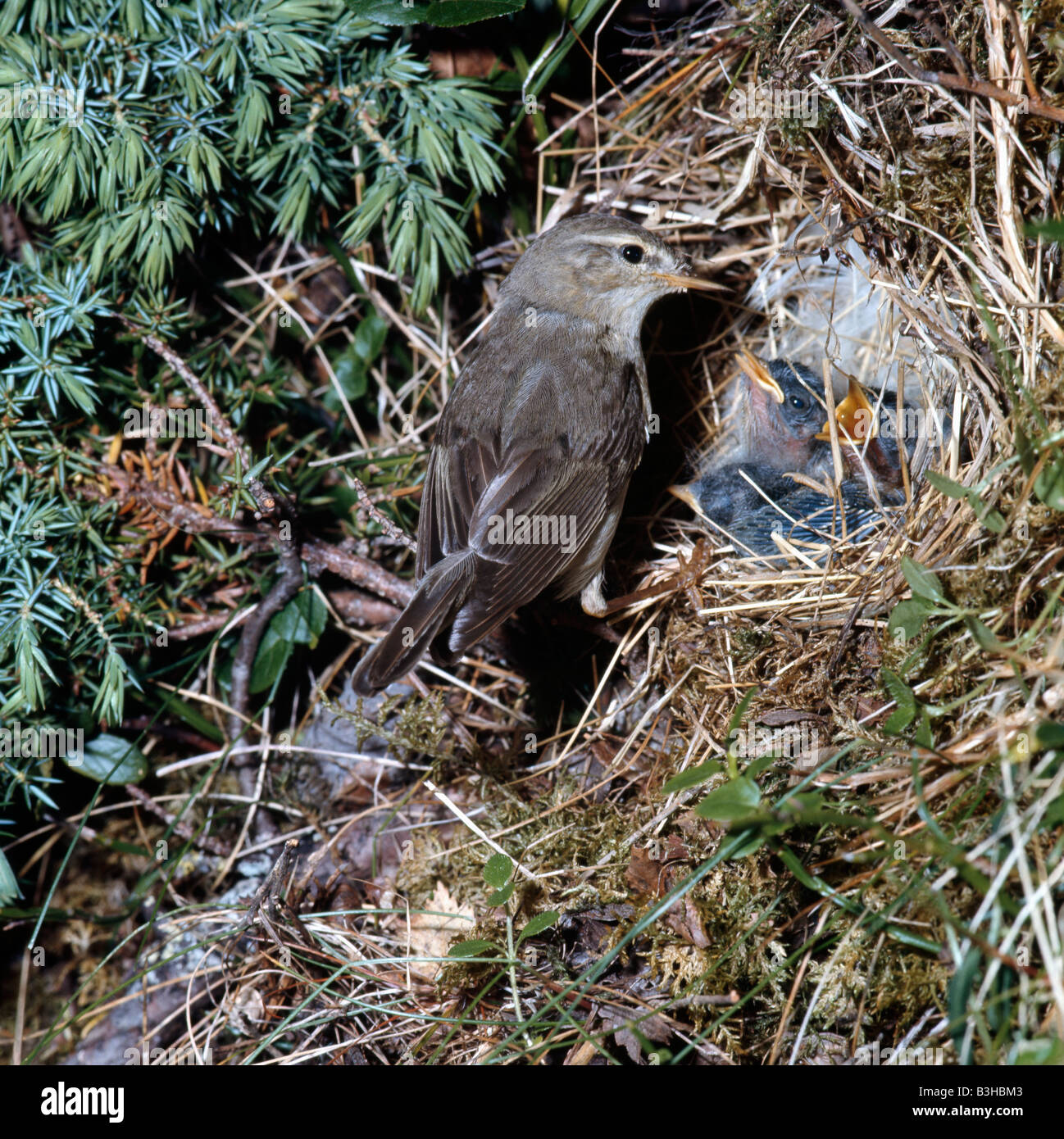 pouillot fitis Fitis Willow Warbler Phylloscopus trochlius at nest with begging chicks Africa Afrika animals Aves - Stock Image