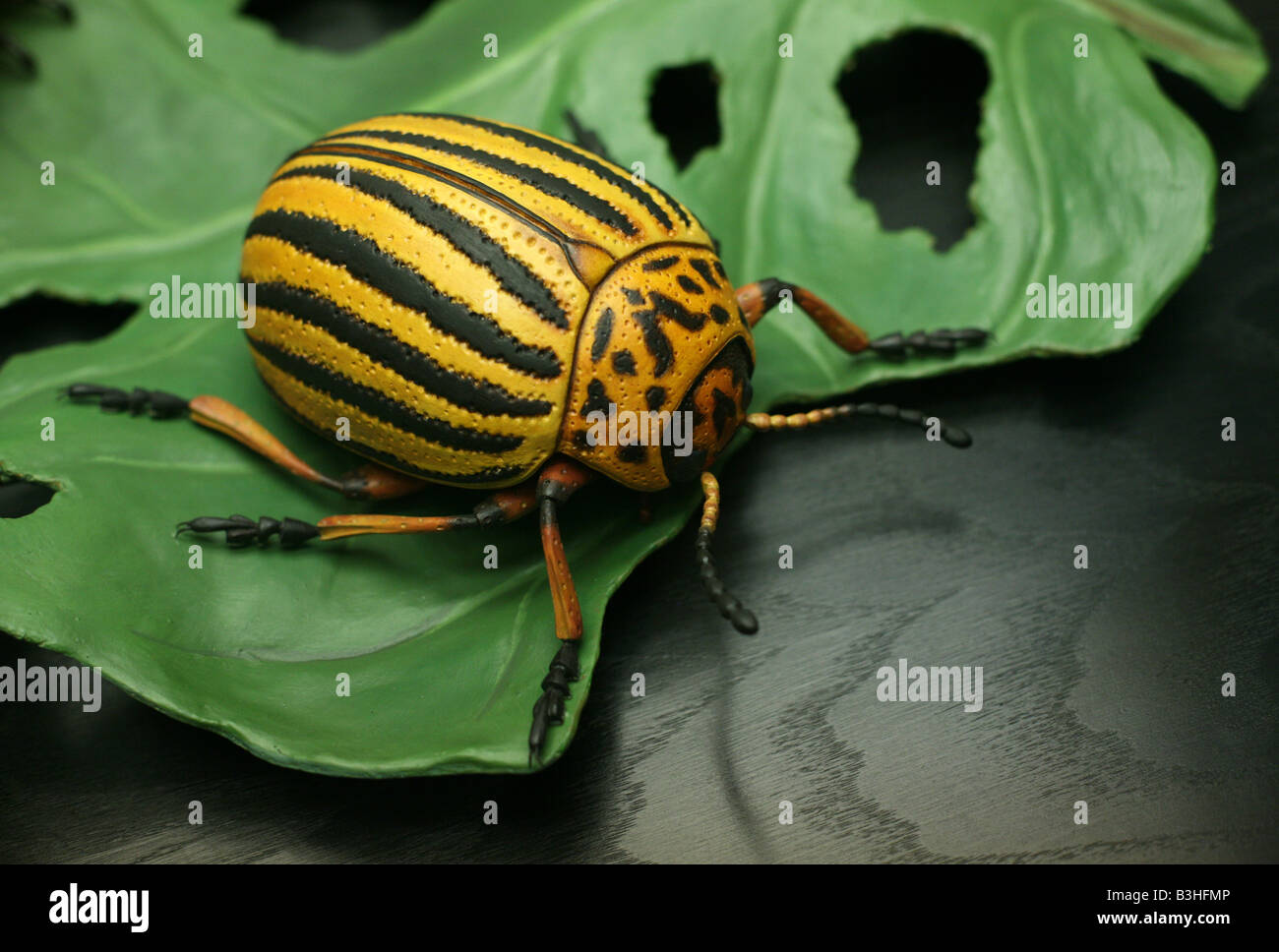 Scale model of a Colorado potato beetle (Leptinotarsa decemlineata) in the Humboldt Museum fur Naturkunde in Berlin, Stock Photo