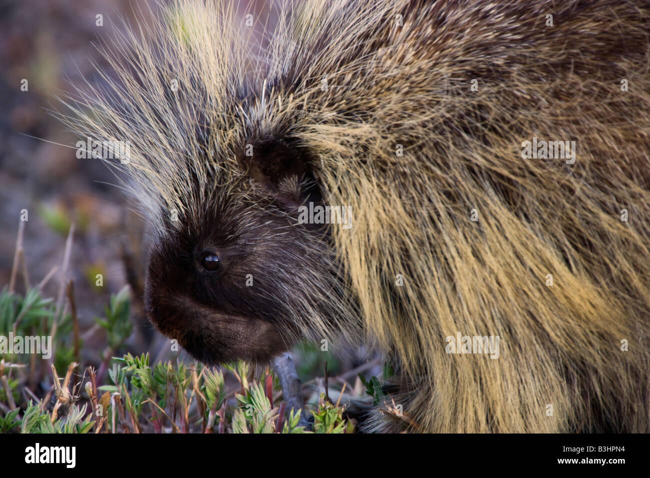 Porcupine Erethizon dorsatum Alaska Stock Photo