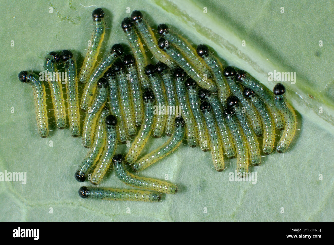 Early instar caterpillars of a large white butterfly Pieris brassicae on a cabbage leaf - Stock Image
