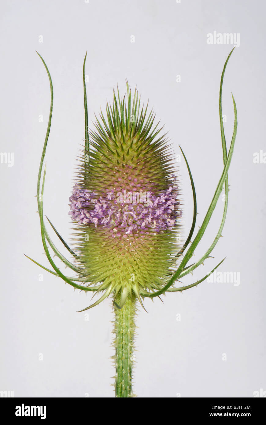 Teasel Dipsacus fullonum with a single whorl of open flowers on spiny flowerhead - Stock Image