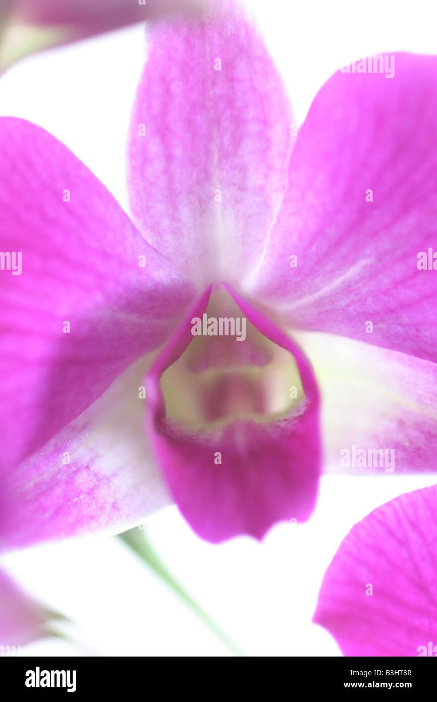 Dendrobium, antelope orchid Stock Photo