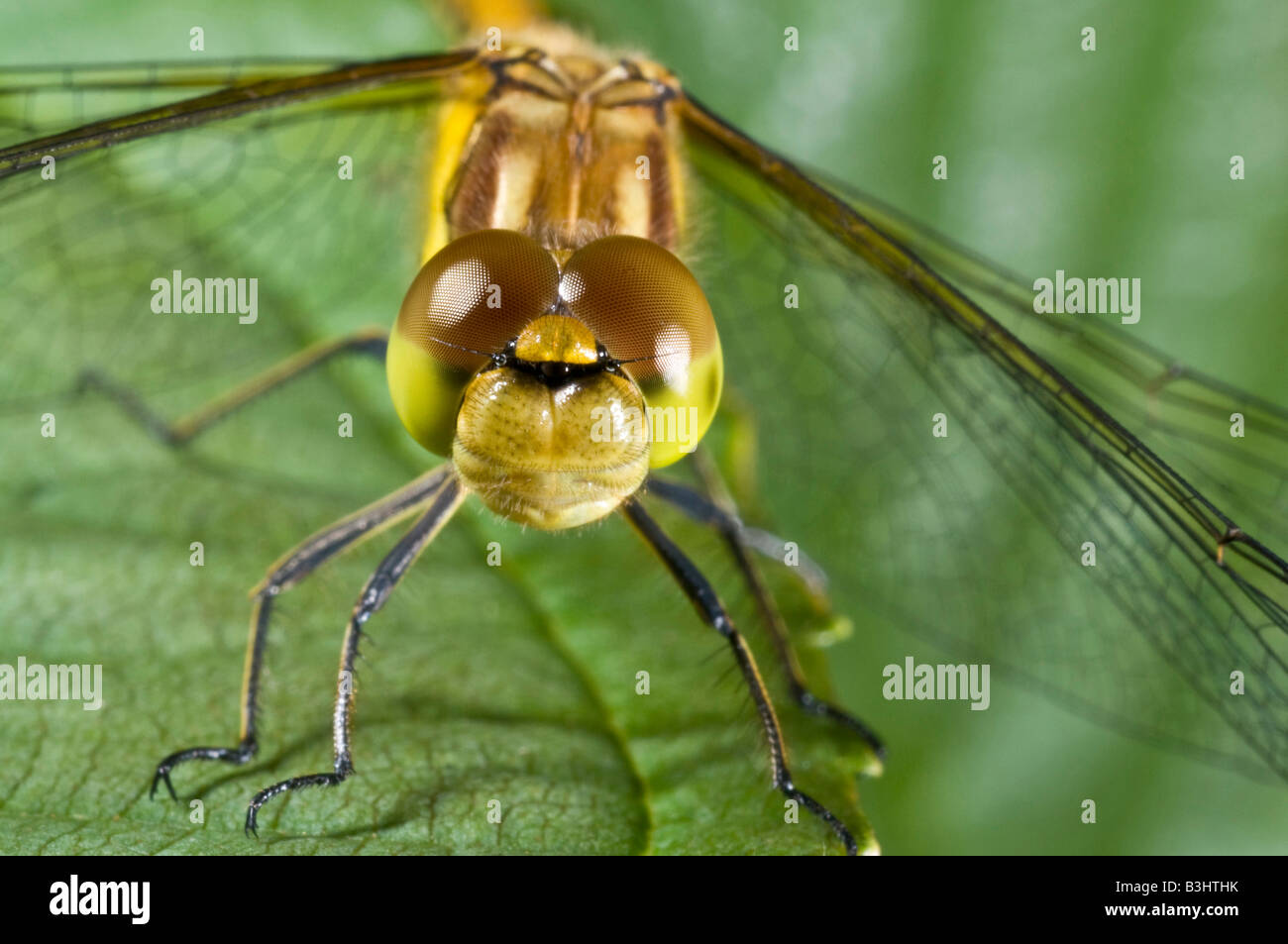 Common Darter dragonfly sympetrum stiolatum resting on a leaf. Stock Photo
