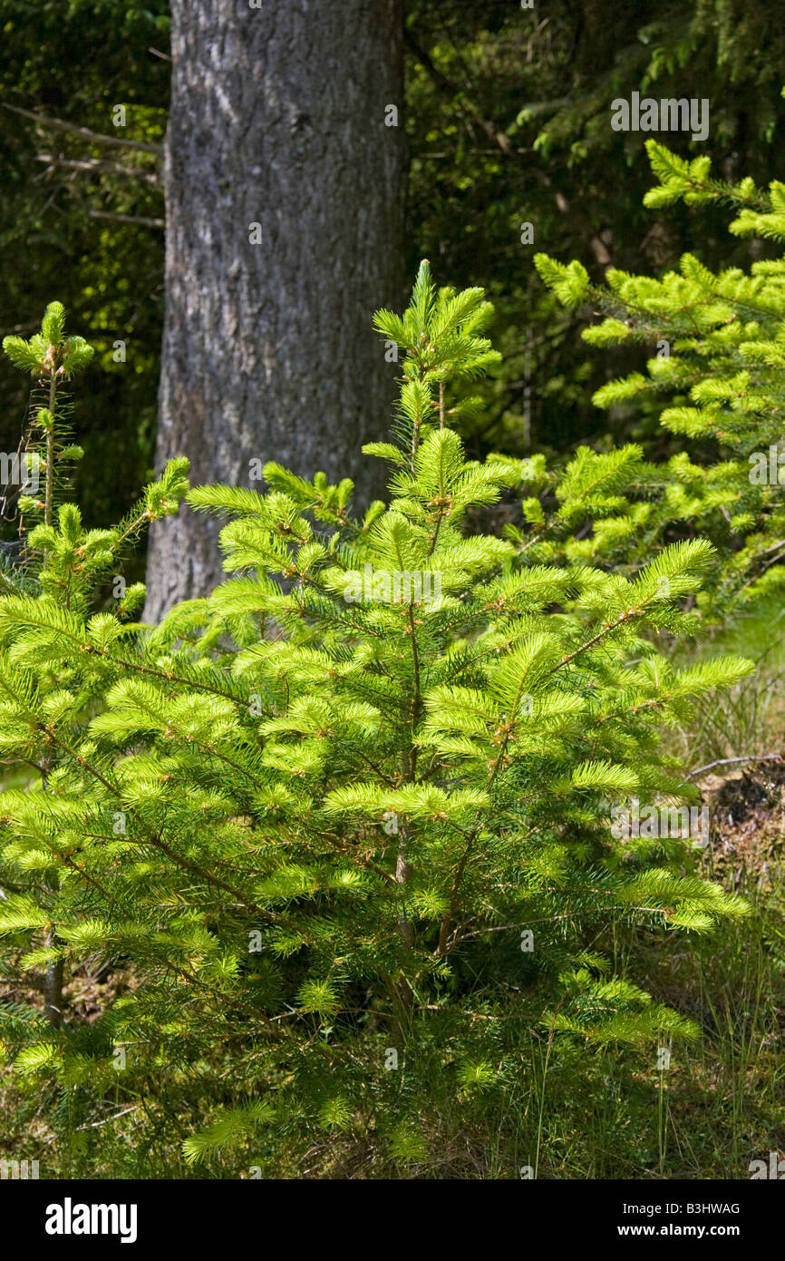 Conifer sapling in forest - Stock Image
