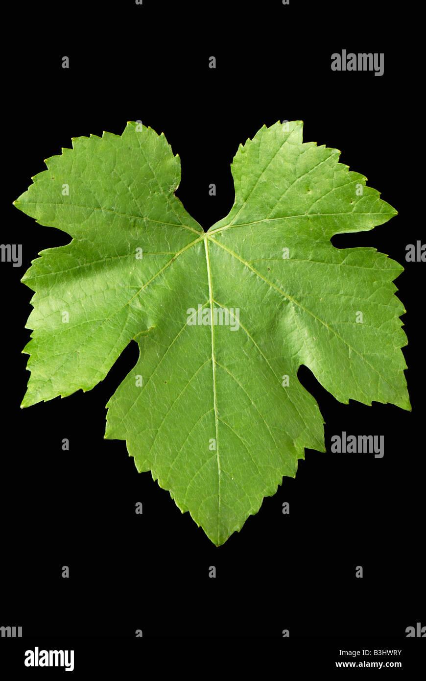 A single vine leaf against a black background - Stock Image