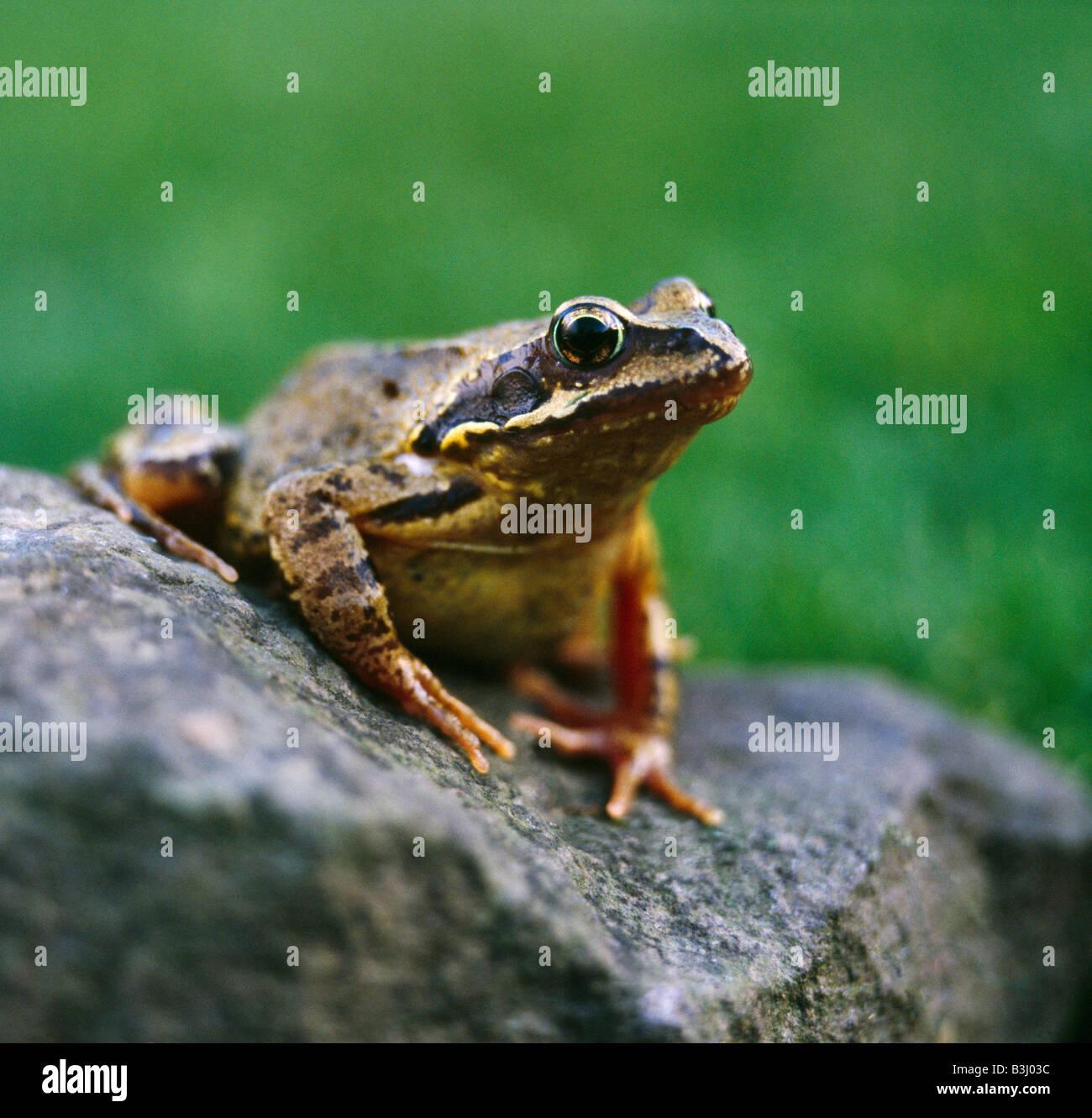 Common Frog, Rana Temporaria. Stock Photo