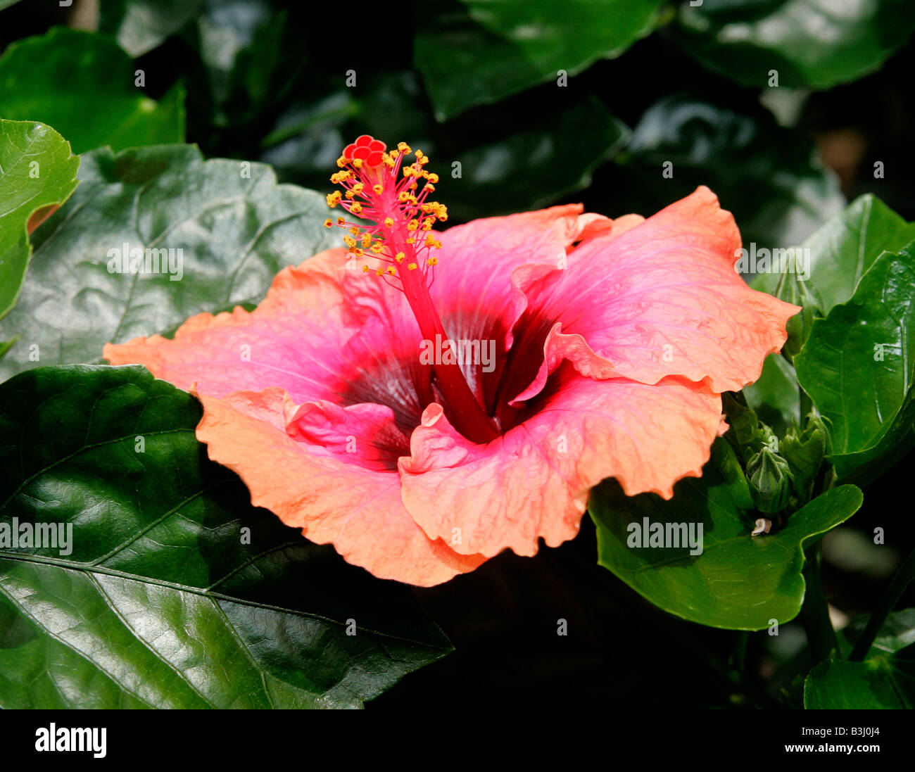 Chinese hibiscus stock photos chinese hibiscus stock images alamy an erin rachael chinese hibiscus flower stock image izmirmasajfo