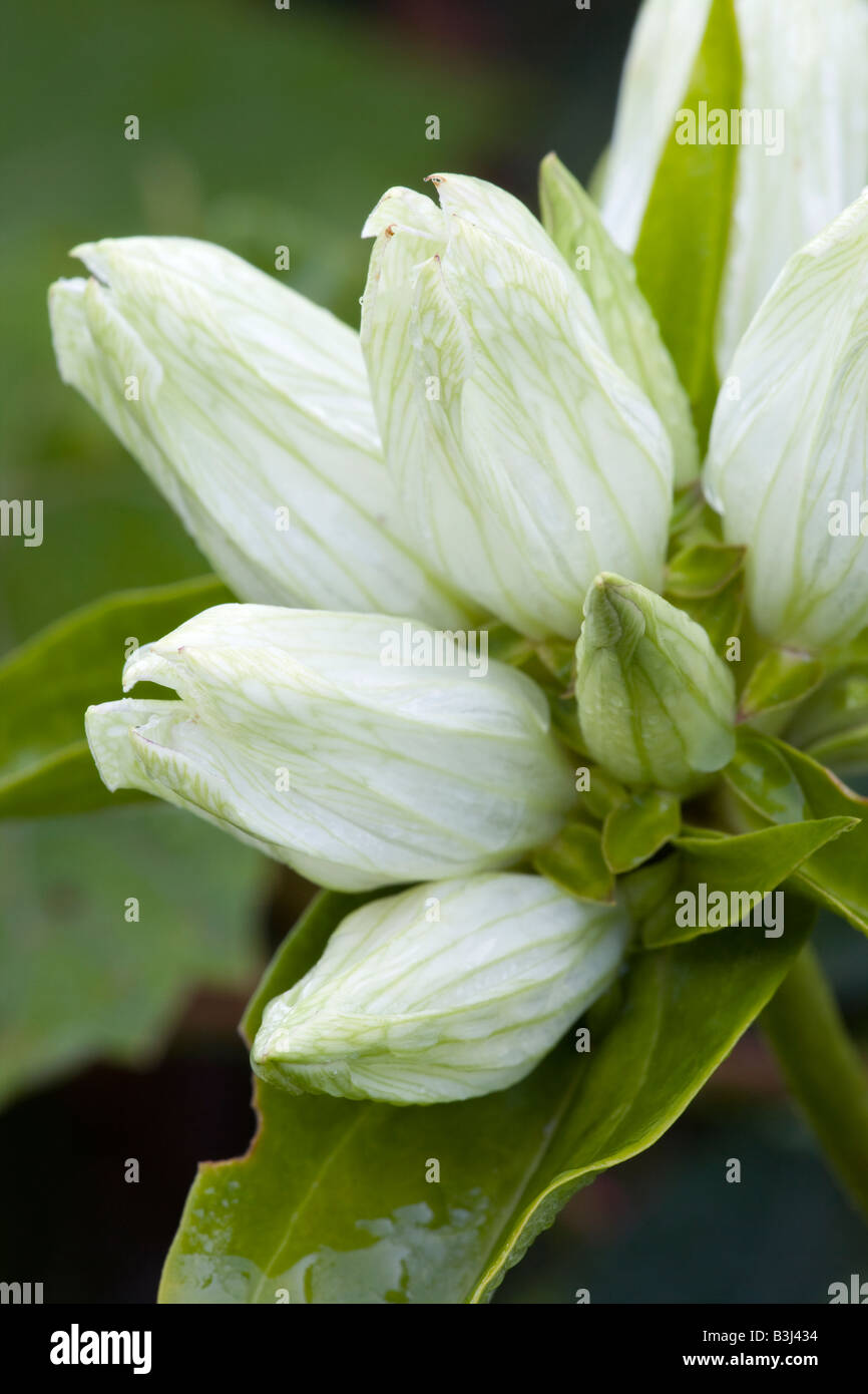 Gentiana alba; common names: pale gentian, plain gentian, cream gentian, yellow gentian, yellowish gentian - Stock Image