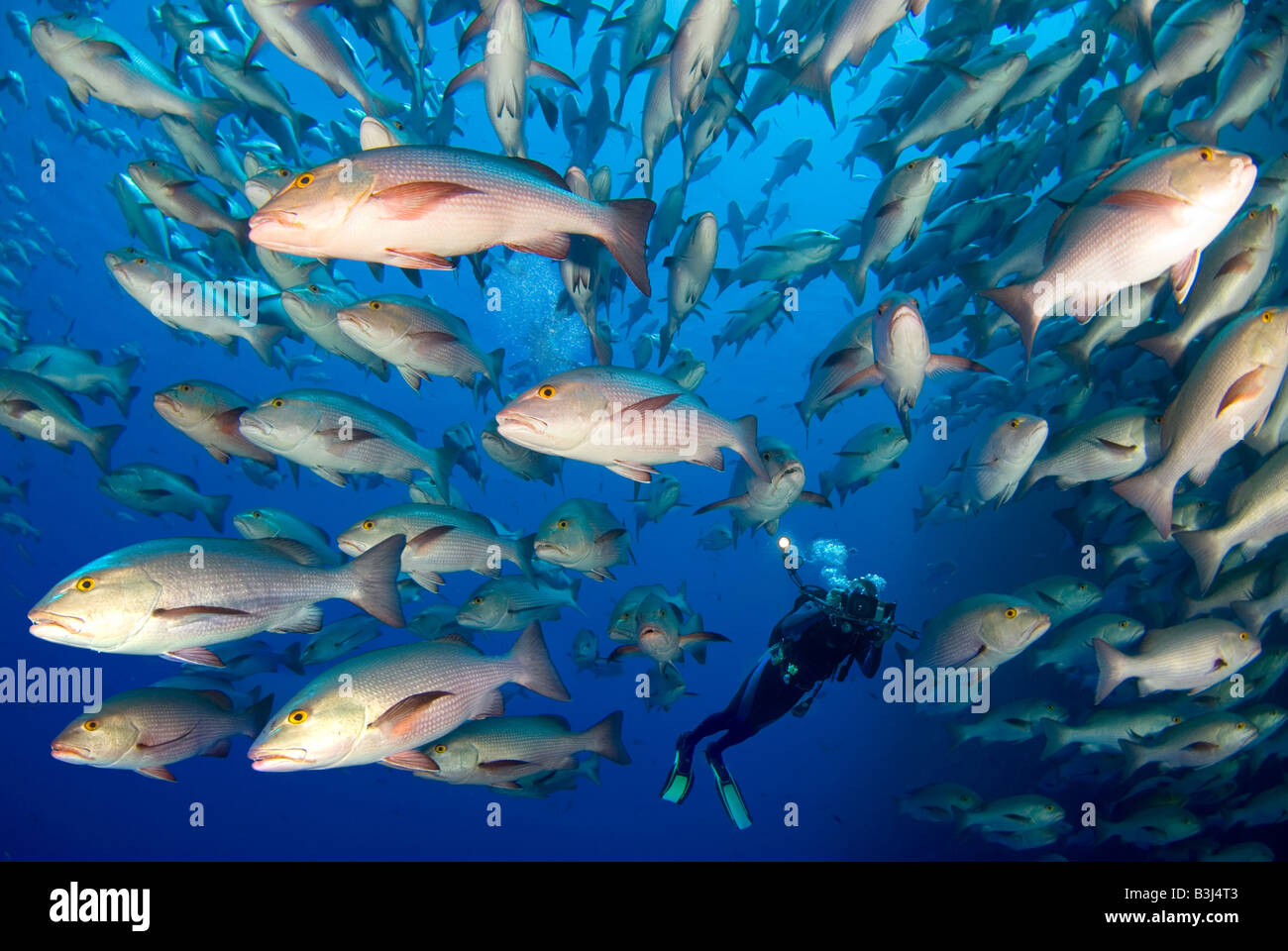 Scubadiver observing a scholl of dogtooth snappers matting around Ras Mohammed. Stock Photo