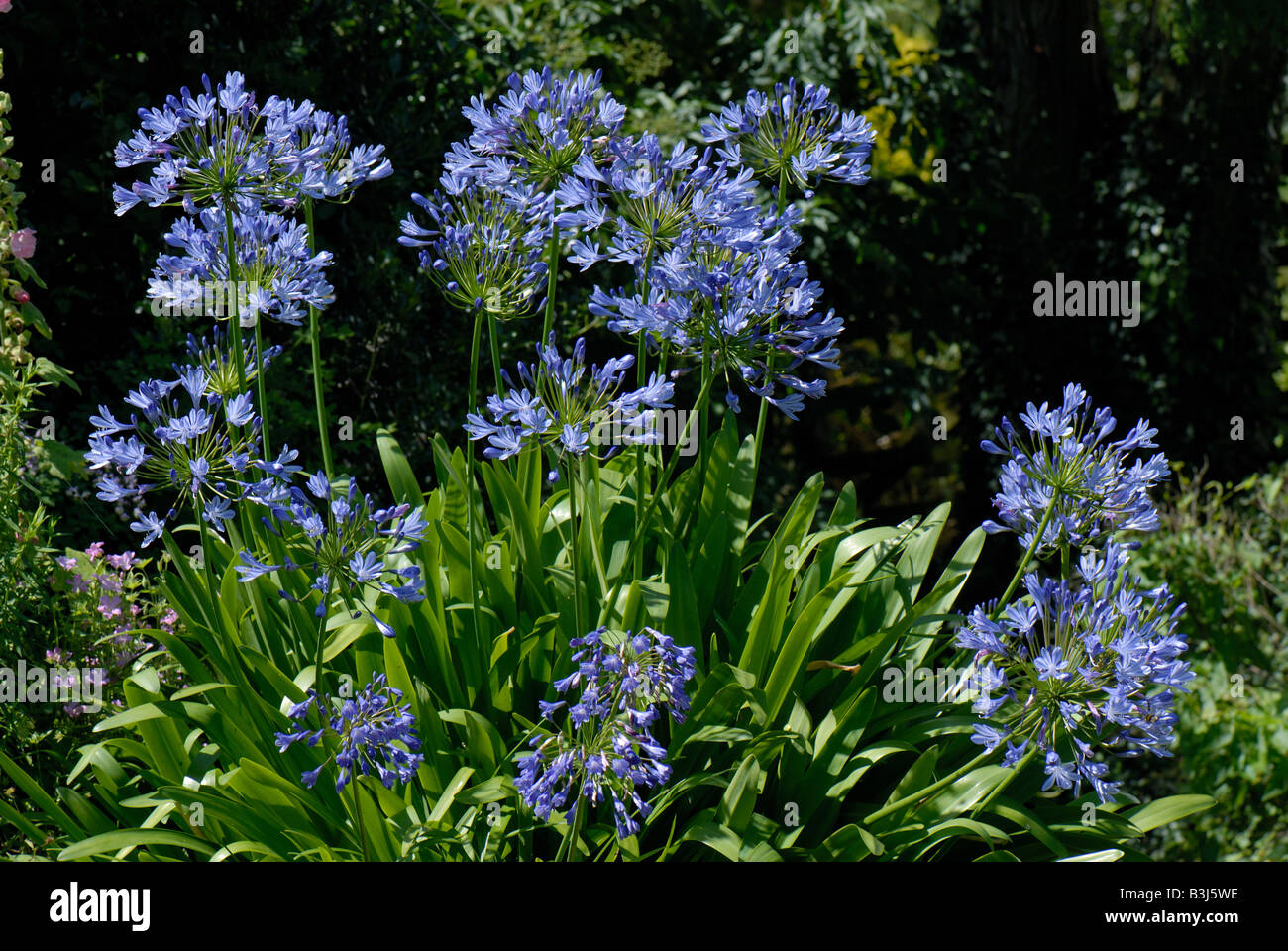 African blue lily Agapanthus africanus flowers back lit in a garden - Stock Image