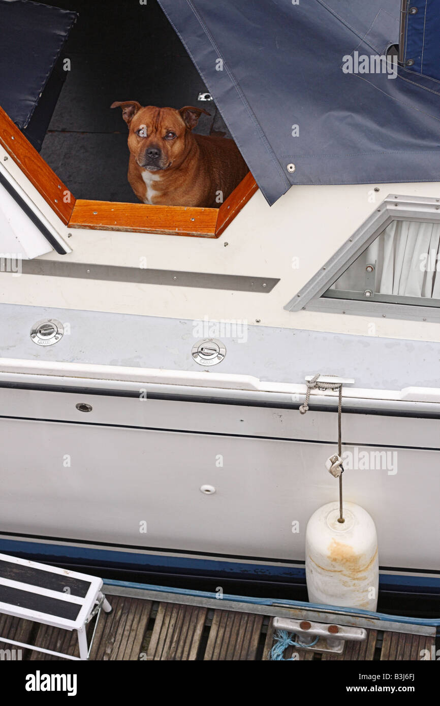 A Staffordshire terrier looking out of a house boat. - Stock Image