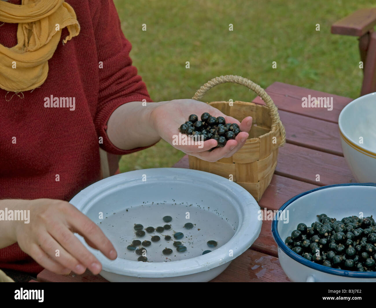 woman cleaning black currant berries in water pot - Stock Image