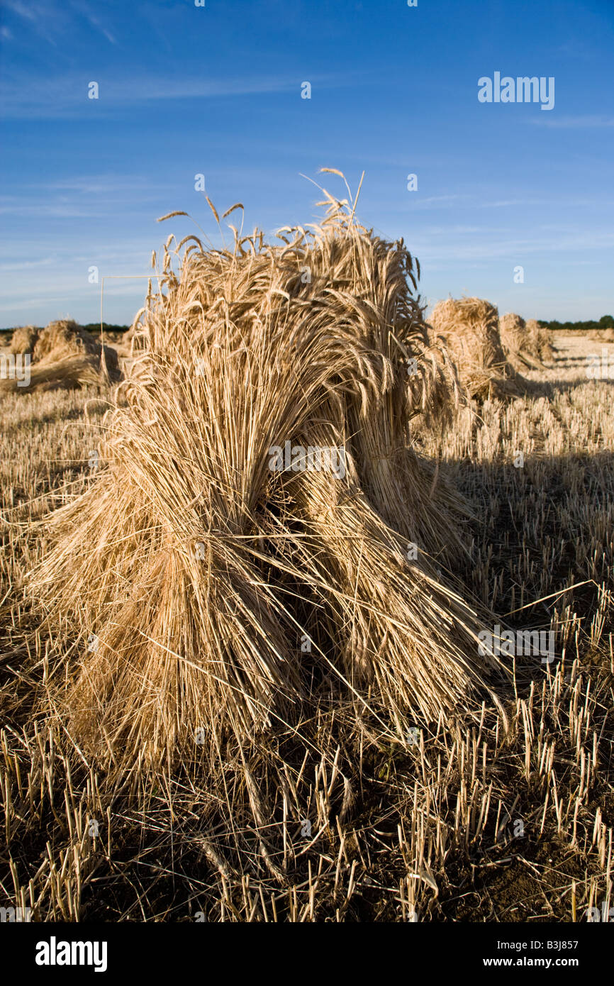 Oxfordshire wheat field with the special long stemmed crop drying in sheaves or stooks for use as roofing thatch. - Stock Image