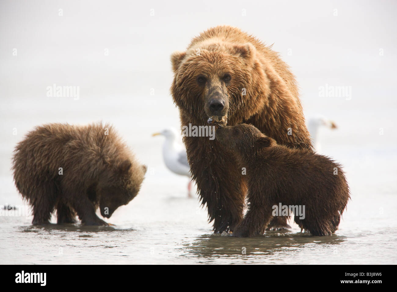 A Grizzly Bear sow with cubs Lake Clark National Park Alaska Stock Photo