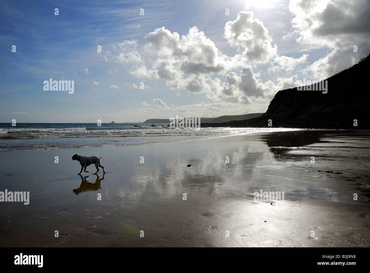 Dog on sandy beach in Cornwall - Stock Image