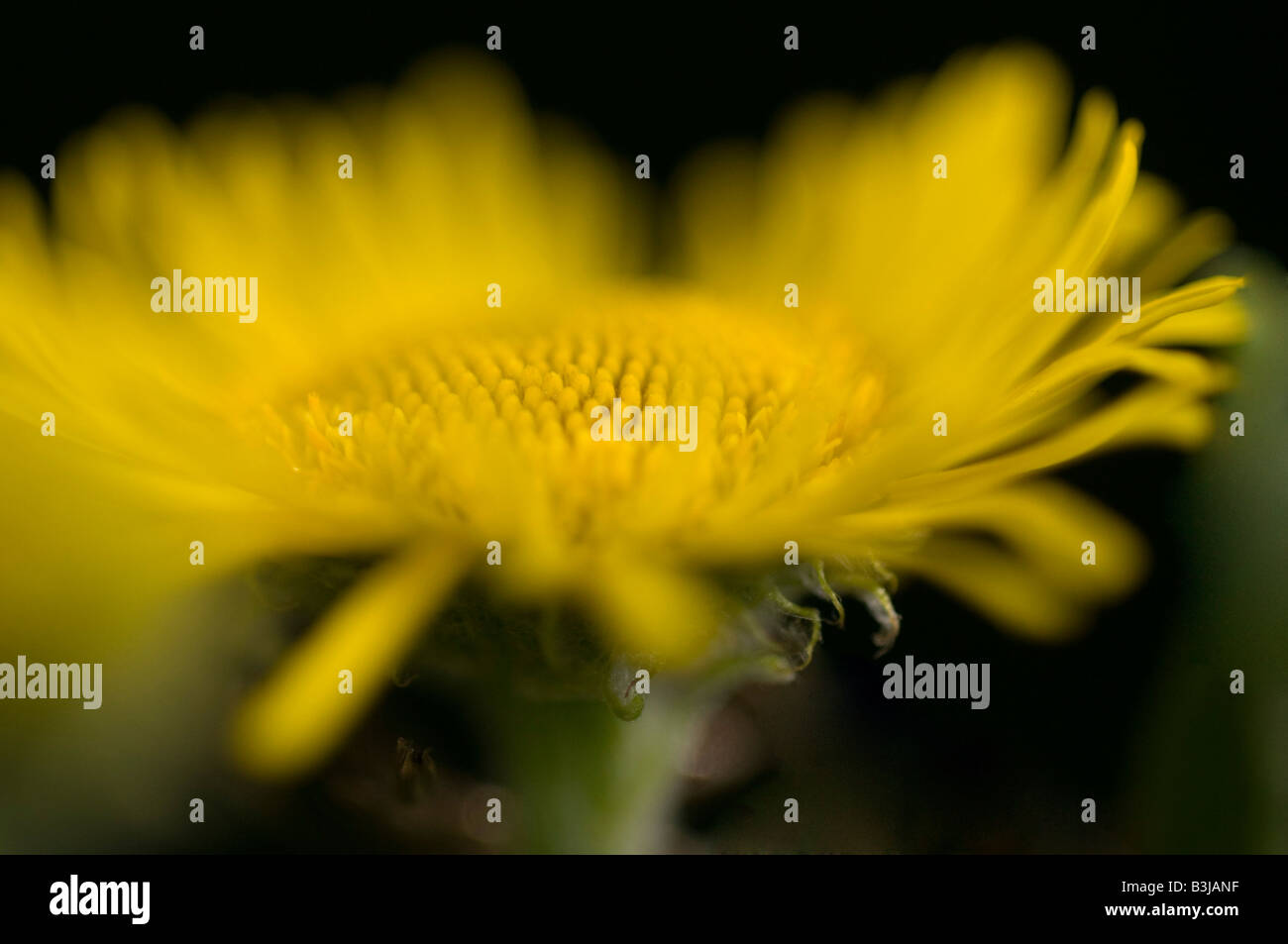 Colt's-foot Tussilago farfara wild flower in a meadow. - Stock Image