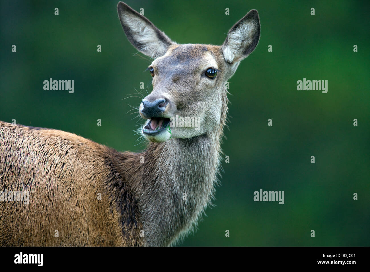 The Bactrian deer (Cervus elaphus bactrianus), also called the Bukhara deer, - Stock Image