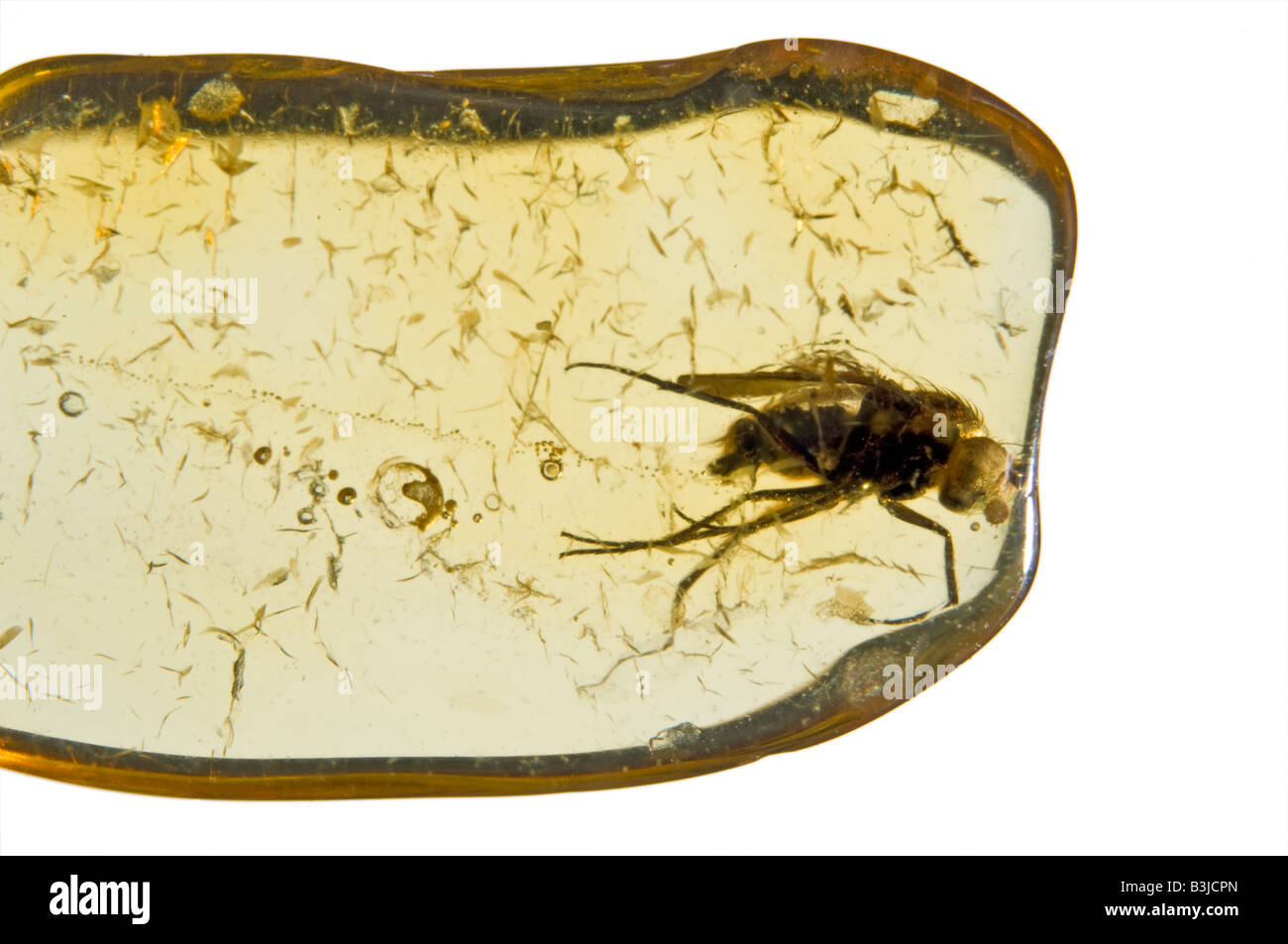 Prehistoric fly preserved in Lithuanian Baltic Amber - Stock Image
