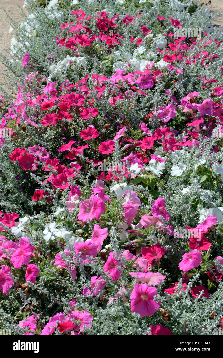 MUNICIPAL AMENITY PLANTINGS AT CHAUMONT LOIR ET CHER 41 USING PETUNIA AND HELICHRYSUM Stock Photo