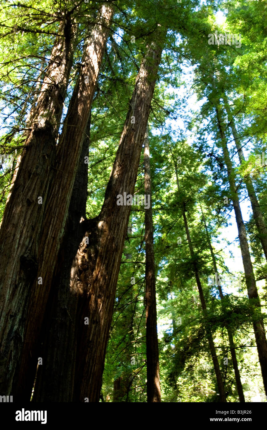 Coastal Redwood trees in Armstrong State Park Northern California - Stock Image