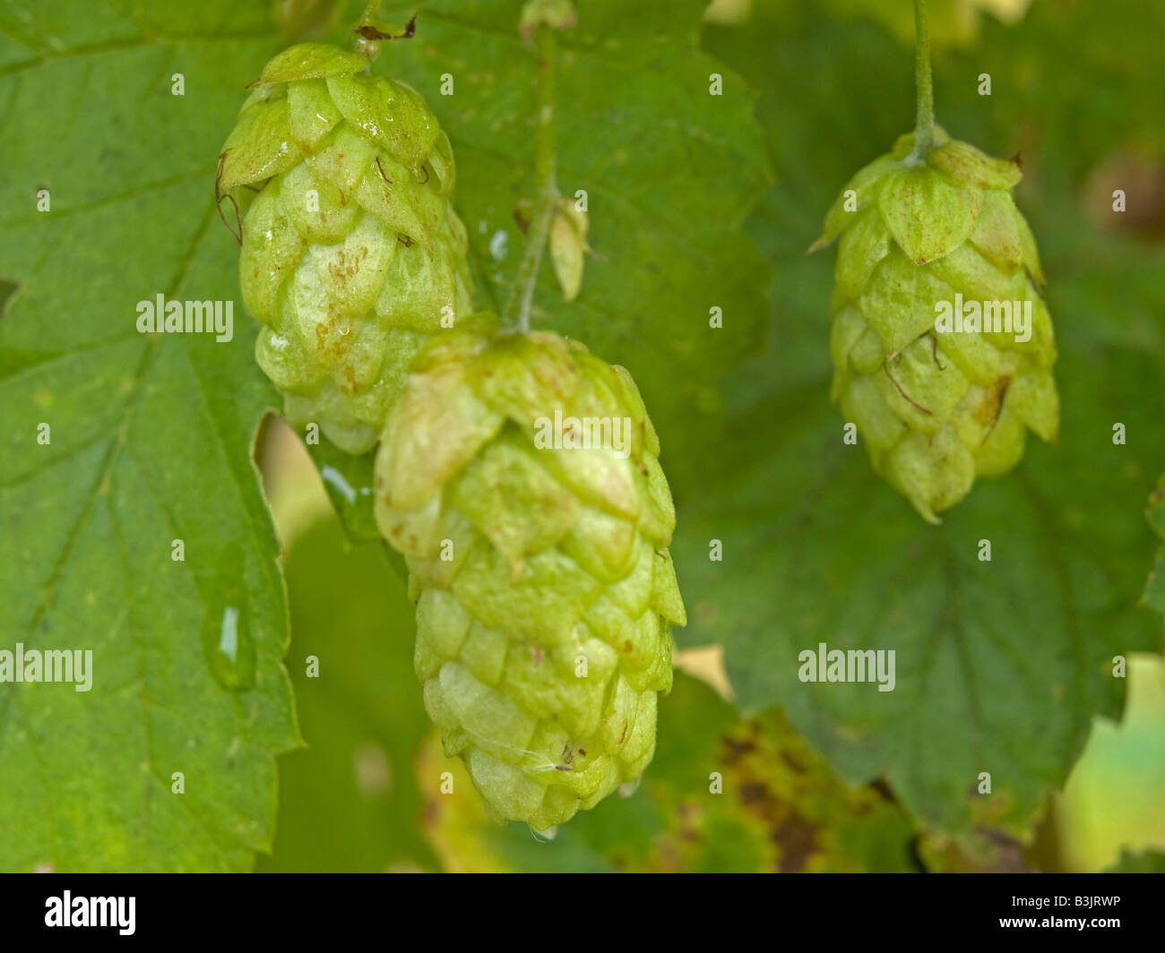 Common hop Humulus lupulus with flower cones hops climbing plant from Cannabaceae family - Stock Image