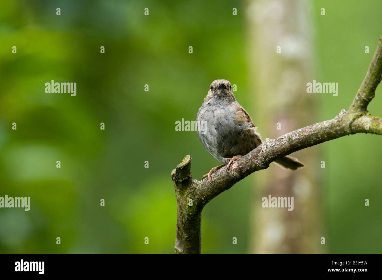 Dunnock on branch in Lanashire woodland. - Stock Image