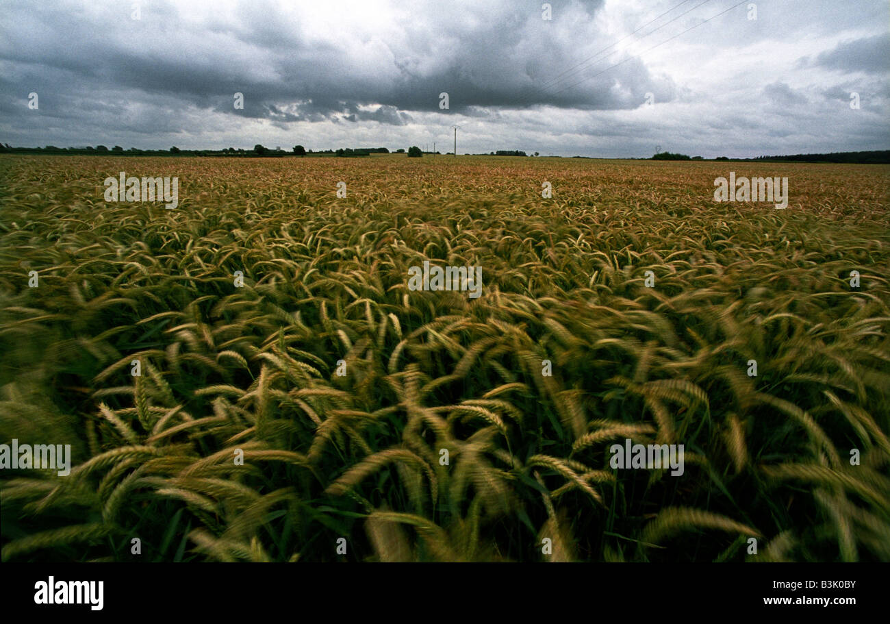 France A field of wheat in Northern France  2008 - Stock Image
