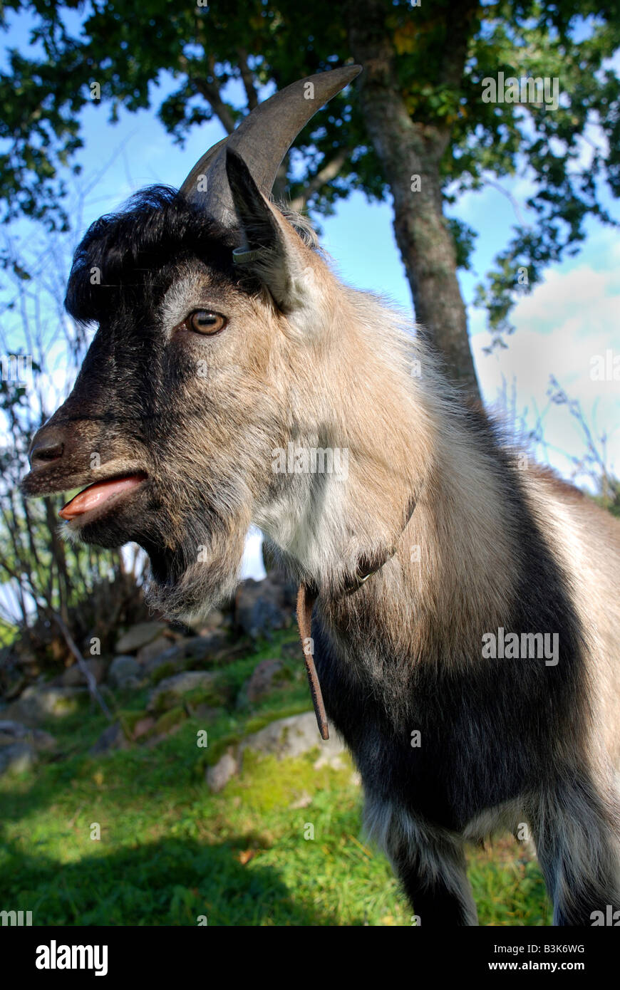 Goat Buck screaming - Stock Image