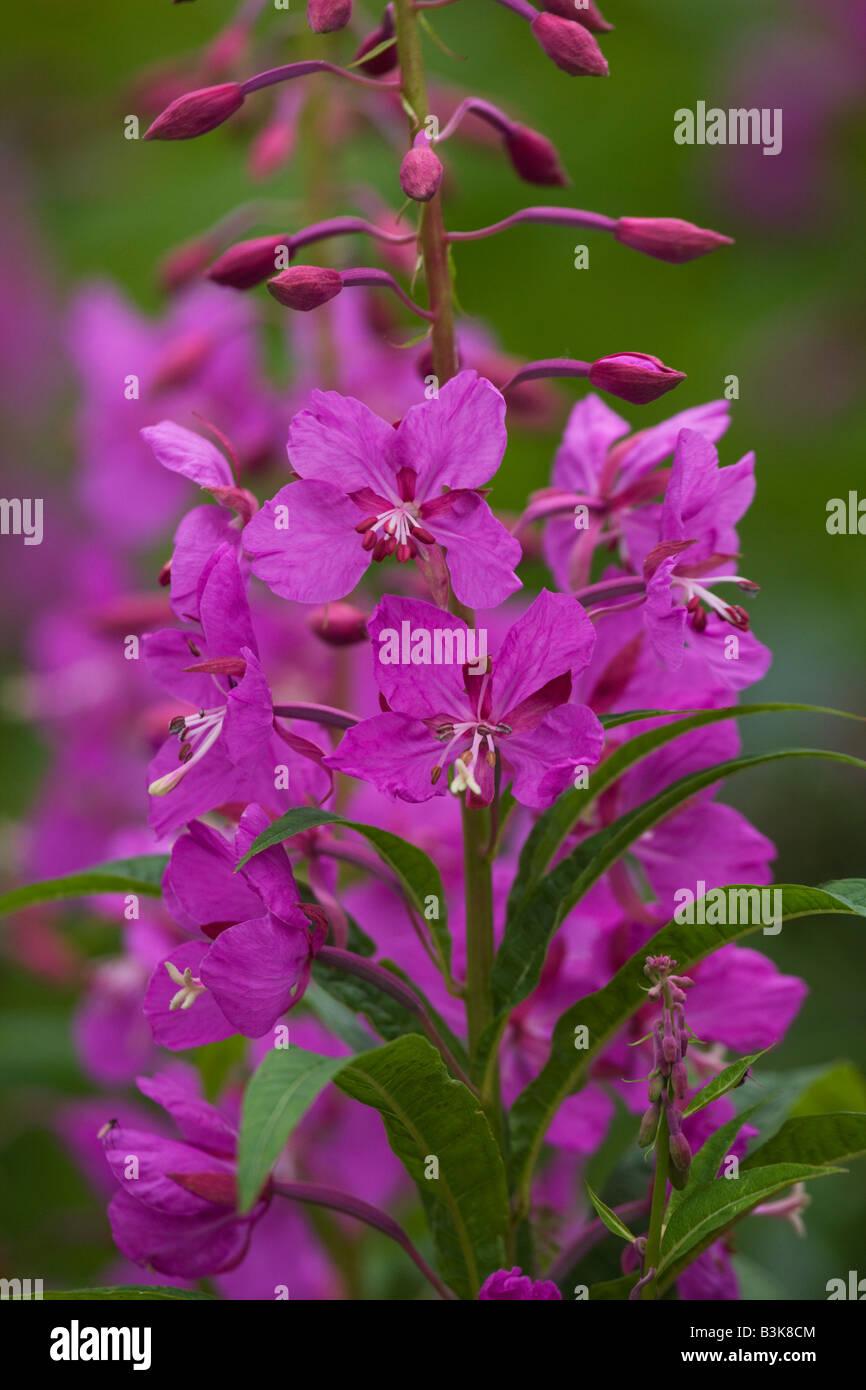 Fireweed wildflowers Lake Clark National Park Alaska - Stock Image