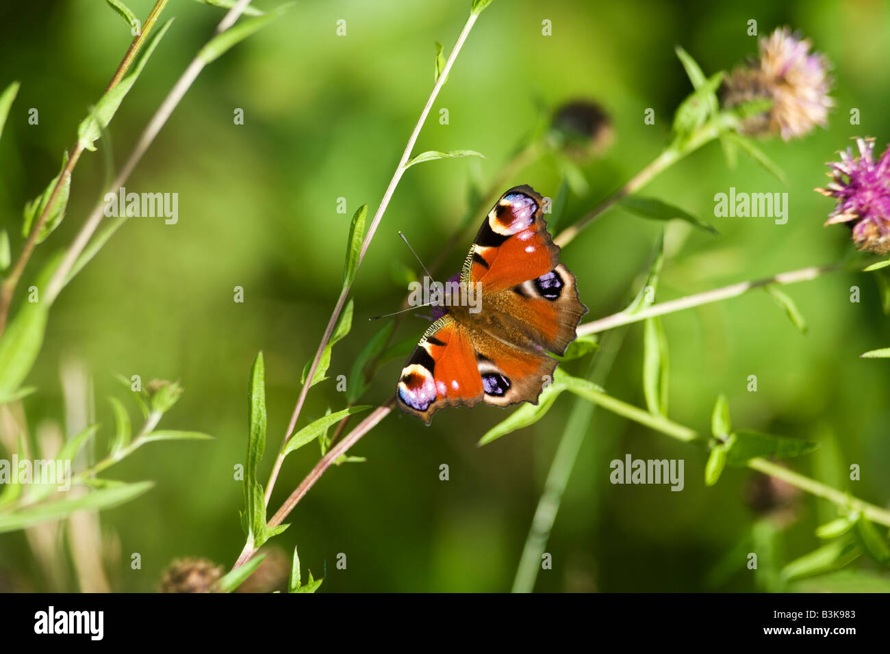 Peacock butterfly Inachis io on a sunny summers day Shropshire England United Kingdom GB Great Britain British Isles - Stock Image