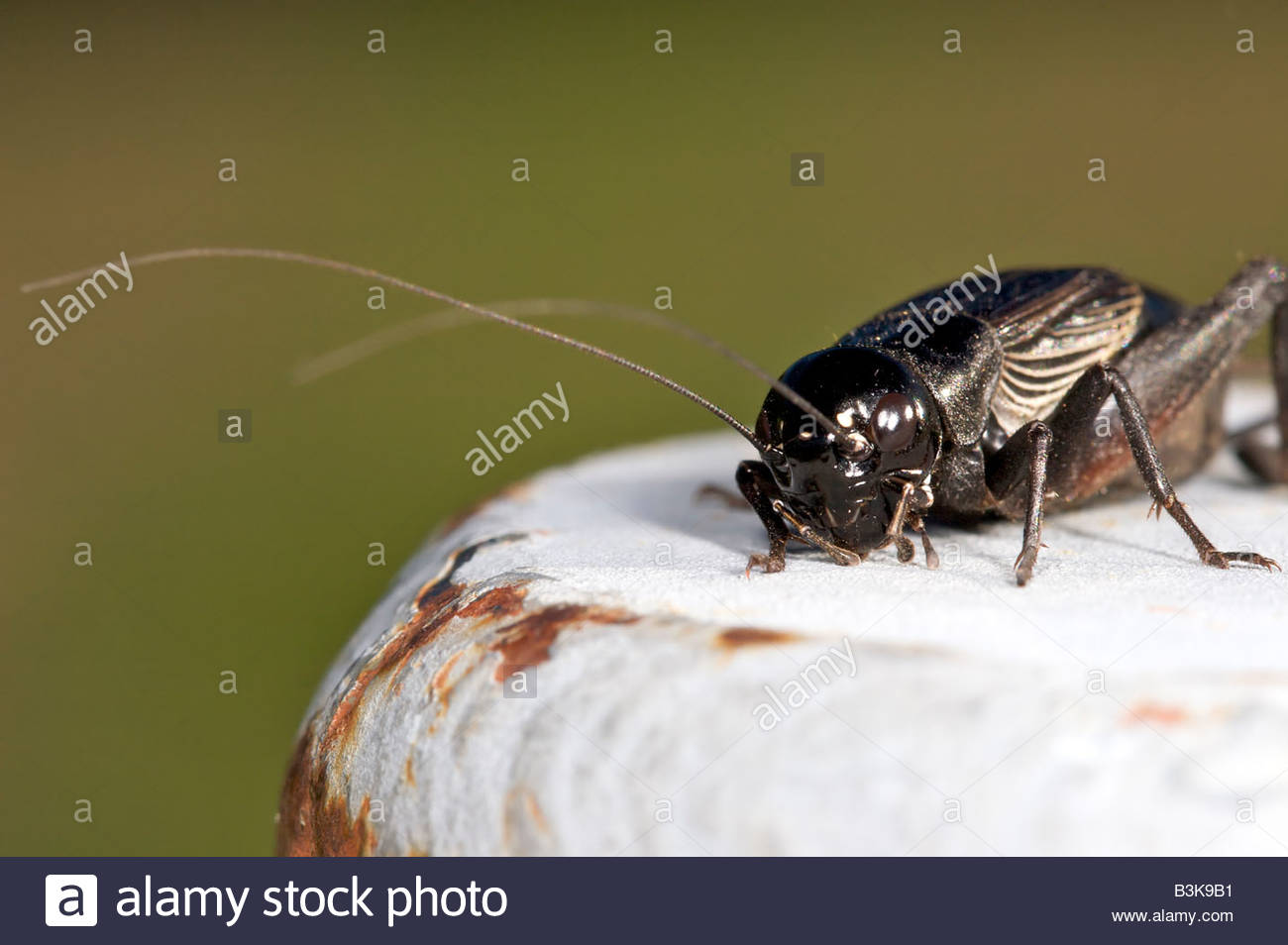 A black cricket sitting on a fence post. - Stock Image