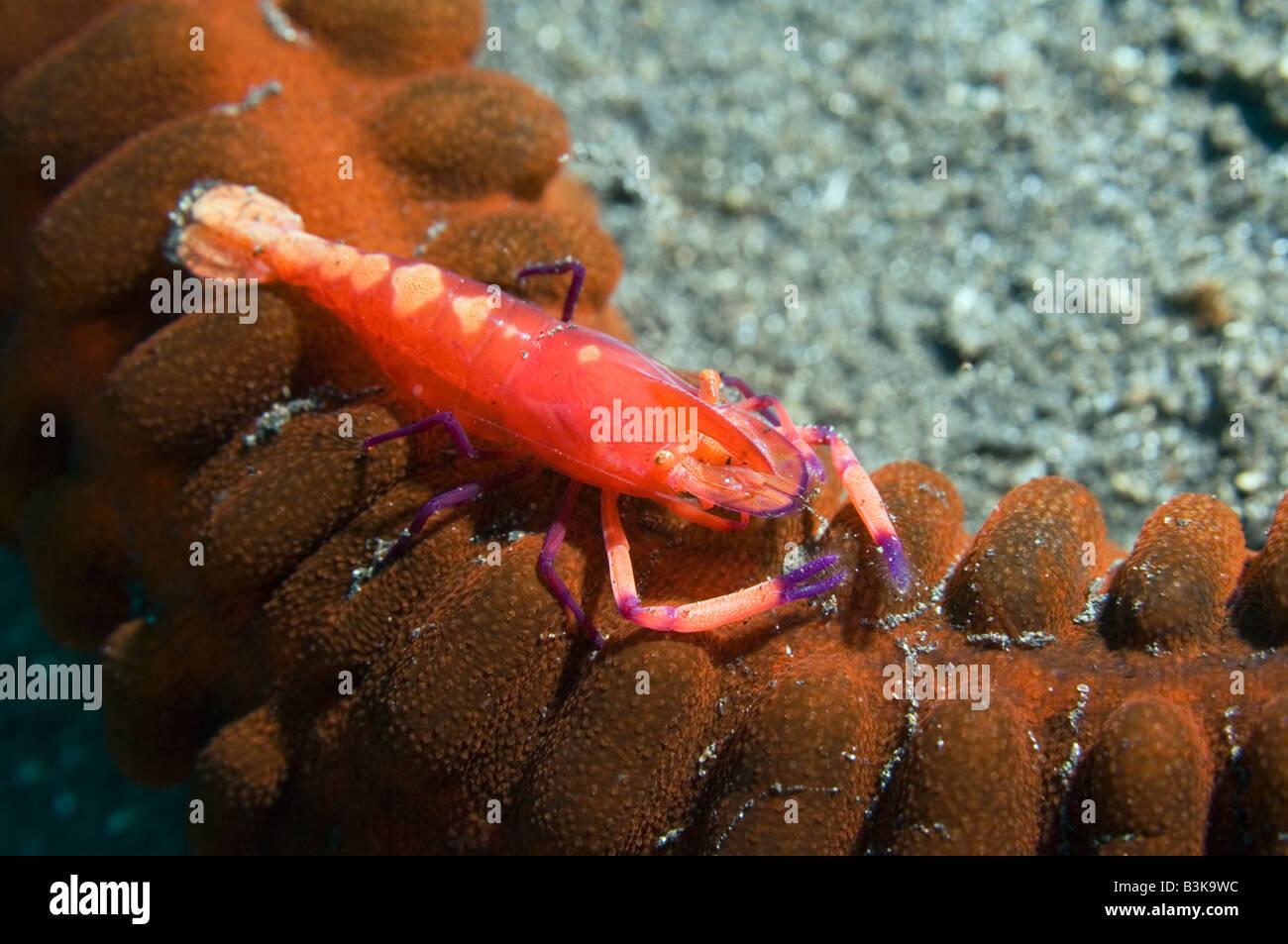 Emperor shrimp Periclemenes imperator on synaptid seacucumber Lembeh Strait North Sulawesi Indonesia - Stock Image